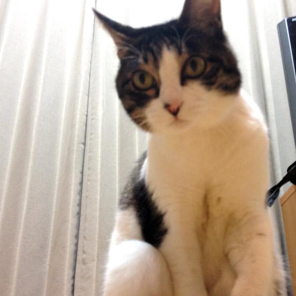 本気でネコに襲われてみた #28 Sashimi-san 28