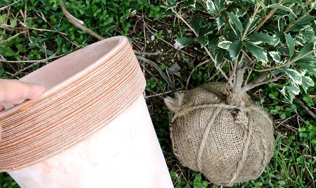 柊(ヒイラギ)の鉢植え、冬の玄関に。The holly-olive is amulet.