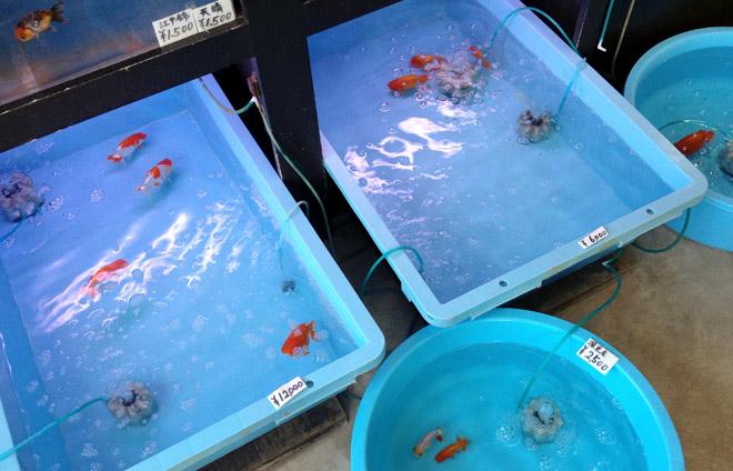 奈良県・郡山金魚資料館は手作り感満載だった!ふらり金魚を見に行く日。Goldfish Museum in Nara Japan.