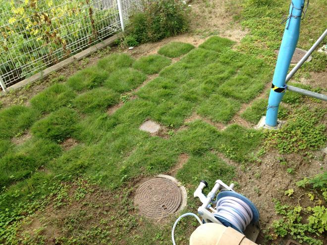 芝生が成長!庭の芝はモフモフ感が出て来た。しかし、今年のゴーヤは不作で残念!