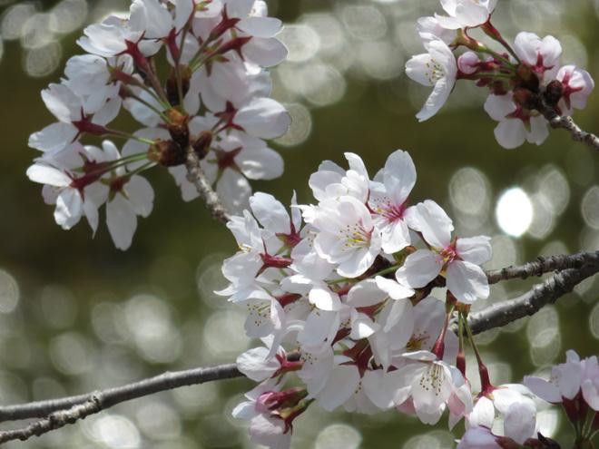 春爛漫なので【キヤノン SX700HS】で桜を撮影してきた!写真もいいけど動画もね。